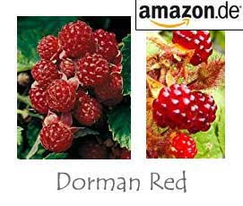 Rote Brombeere Dorman Red