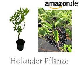 Holunder Pflanzen