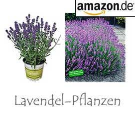 Lavendel Pflanzen