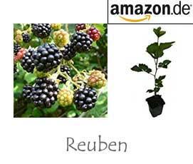 Brombeersorte Reuben
