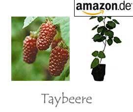 Taybeere