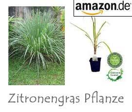 Zitronengras Pflanze online bestellen