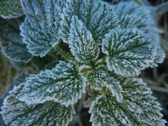 Brennessel mit Raureif, Winter