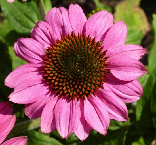 Echinacea Sonnenhut - ideal für Tee