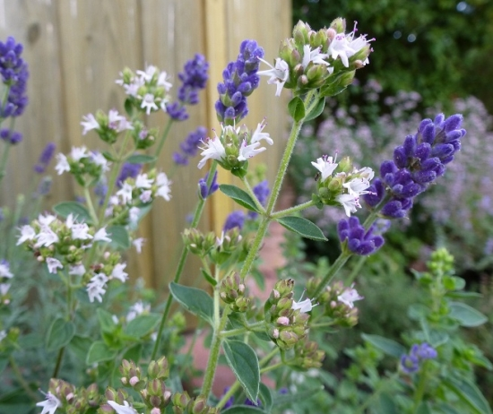 Lavendel Majoran Blüten