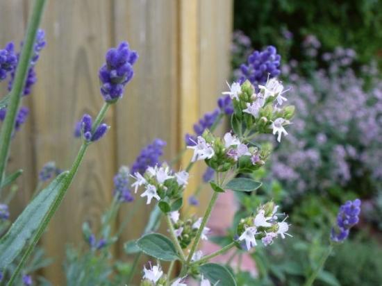 Kräuter: Majoran und Lavendel Blüten