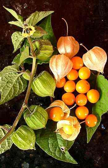 Physalis Pflanze - Kapstachelbeere/Andenbeere